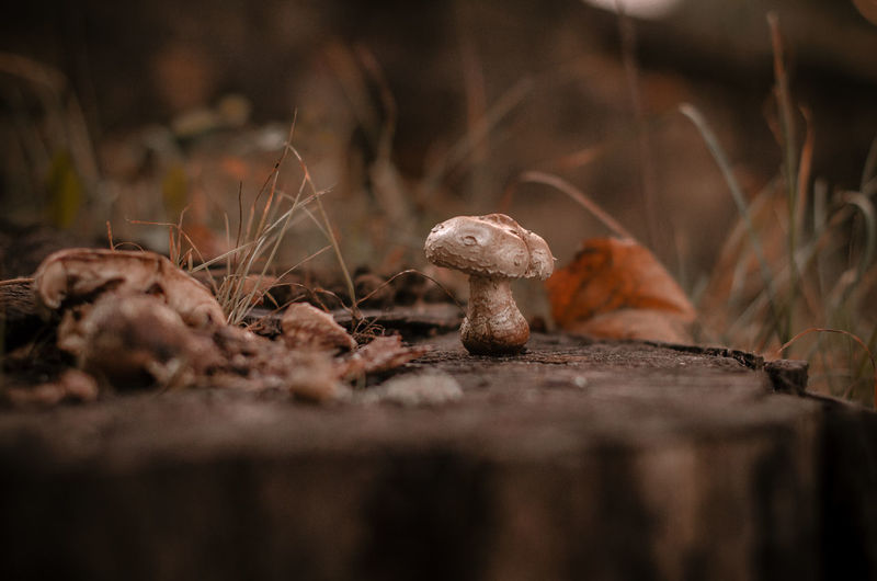 Close-up Day Edible Mushroom Field Food Food And Drink Fragility Fungus Growth Land Mushroom Nature No People Outdoors Plant Selective Focus Surface Level Toadstool Vegetable Vulnerability