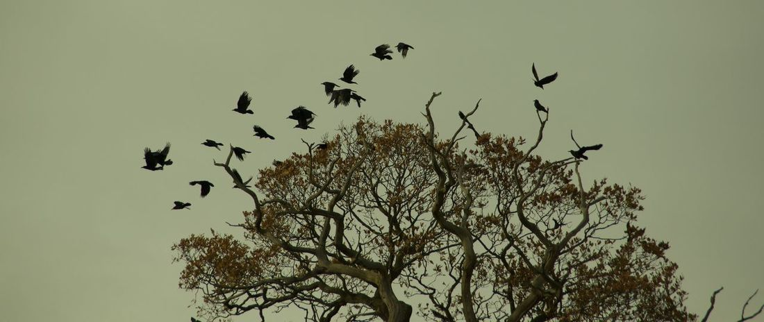 rooks in flight from tree Animal Themes Animal Wildlife Animals In The Wild Beauty In Nature Bird Bird Of Prey Branch Clear Sky Day Flock Of Birds Flying Large Group Of Animals Low Angle View Mid-air Migrating Nature No People Outdoors Rooks Flying From Tree Sky Spread Wings Tree