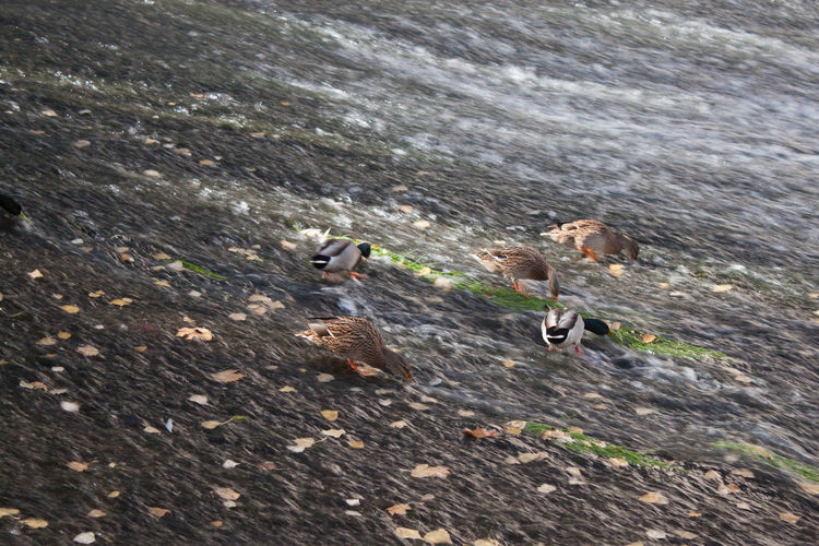 Animals Animals In The Wild Autumn Beauty In Nature Dam Day Ducks Ducks In Water Ecology Leaves Nature No People Non-urban Scene Outdoors River Scenics Tranquil Scene Tranquility Vacations Water
