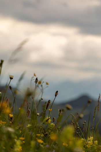 Close-up of flowering plants on field against sky