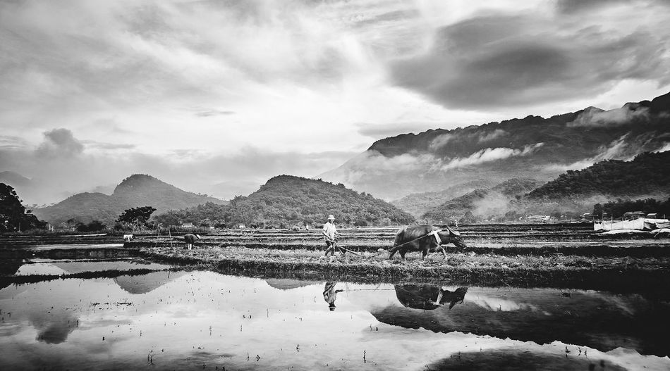 Farmer With Water Buffalo On Field Against Sky