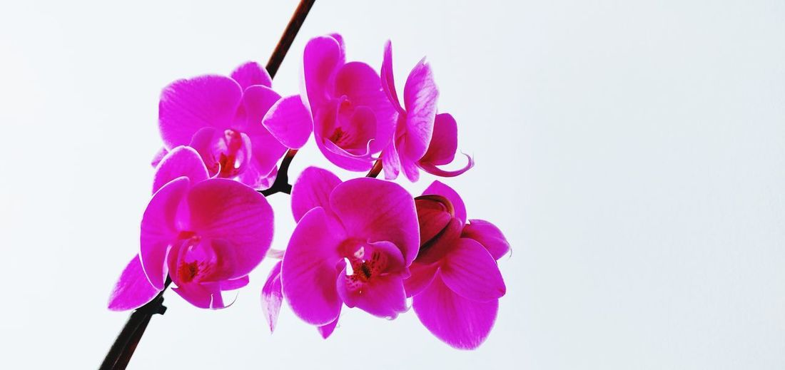 pink orchids Photowalktheworld Basingstoke Mobilephotography Oneplus6photography Flower Pink Flower Head Flower White Background Orchid Pink Color Studio Shot Petal Purple Close-up