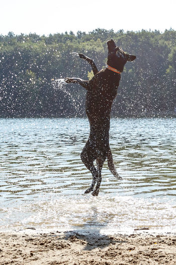 Animal Beach For Dogs Canine Day Dog Domestic Domestic Animals Jumping Dog Mammal Motion Nature One Animal Outdoors Pets Running Splashing Vertebrate Water Waterfront Wet