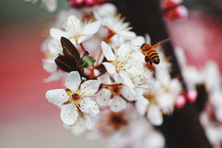 Macro photo of white flowers of blossoming cherry blossom or sakura tree with blooming petals.