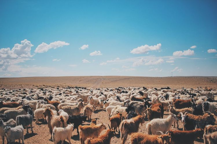 Bluesky Family Goats Horizon Over Land Landscape Mongolia Mongolian Nature No People Nom Nomadic Outdoors Remote Sheep Sky
