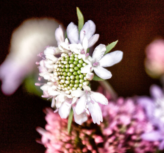 Beauty In Nature Blooming Blurred Background Close-up Day Detail Of Flower Flower Flower Head Focus On Foreground Fragility Freshness Growth Macro Macro Photography Nature No People Petal Plant Pollen Soft Colors  Spring Springtime White