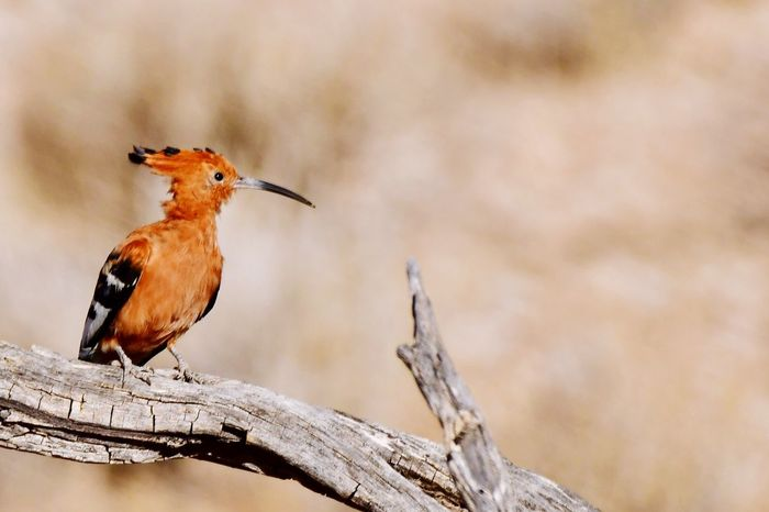 African Hoopoe Birds Of Africa Birds Of EyeEm  Kalahari African Wildlife Bird Photography Wildlife Photography Kgalagadi Transfrontier Park EyeEm Nature Lover EyeEm Best Shots Hoopoe Animals In The Wild Animal Themes Focus On Foreground One Animal Bird Animal Wildlife Perching