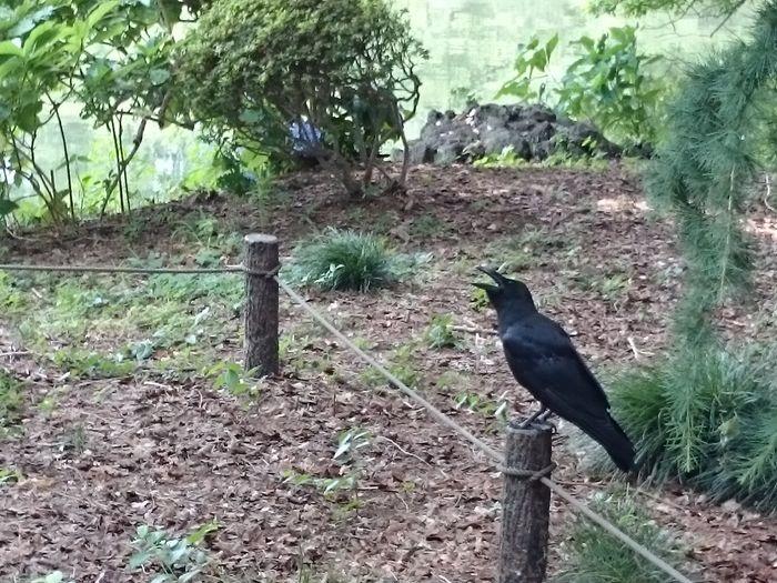 Bird Animal Shinjuku-gyoen Tokyo,Japan Green Bird Perching Raven - Bird Tree Crow Animal Themes Sky Wildlife Greenery Grassland Growing Plant Life