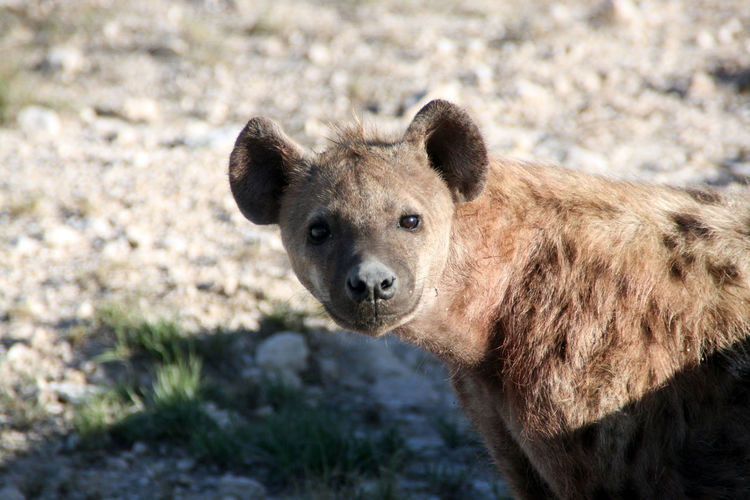 Africa Animal Animal Face Animal Themes Animals In The Wild Brown Spotted Hyena Day Etosha Face Field Focus On Foreground Hyena Looking At Camera Mammal Namibia Nature Nature Photography No People One Animal Outdoors Portrait Wildlife Wildlife Photography Zoology
