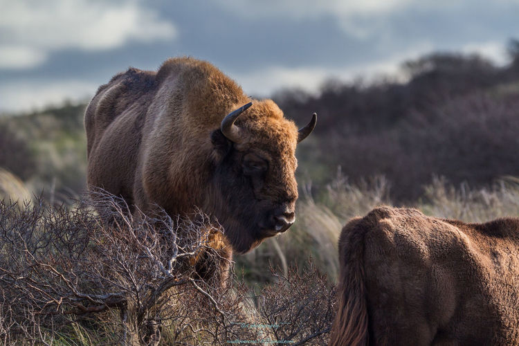 Great Bisons