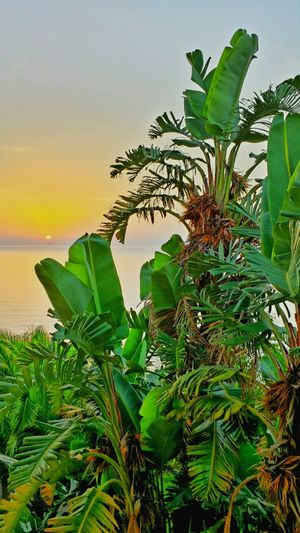 Learn & Shoot: Layering Sunset_collection Sunset Banana Plant Palm Tree Colours Of Sunset Beautiful Nature Tropical Plants