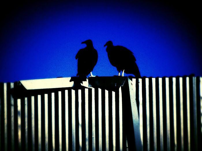 silhouette Silhouette_collection Vultures Perched On A Fence