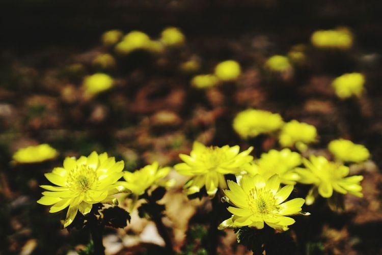 福寿草 Flower