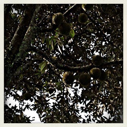 Tis the durian season! In My Garden