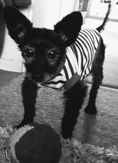 Black And White Day No People Indoors  Ball Play Yorkiepoo Striped Tshirt One Dog And His Ball Pets Portrait Dog Looking At Camera Alertness Striped Close-up Pet Clothing Pampered Pets At Home Lap Dog Canine