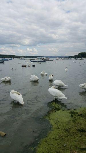 EyeEm Nature Lover River View Swan Sleeping Moment Nofilternoedit Samsung Galaxy S6 Edge