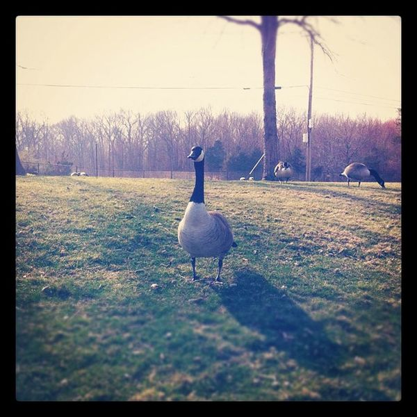 I had a little staring contest with this little guy. I won. Birds Geese Animals Nature outside