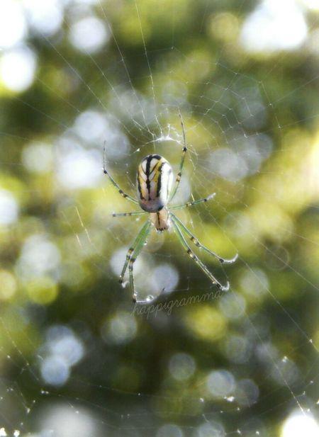 Spinningmyweb Thesmallestlittlethings Happigramma Lovethisspider Itsybitsyspider Silvery Godsartwork