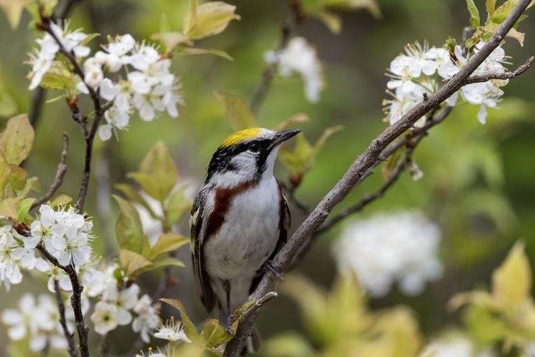 Chestnut-sided Warbler Nature Warbler Nature Collection Bird Photography Nature Photography Migrating Bird Perching Tree Branch Full Length Close-up Songbird