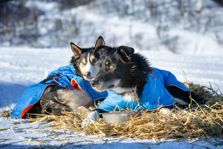 Dog relaxing on snow field