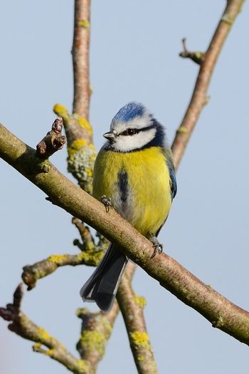 Low angle view of eurasian blue tit perching on branch against sky
