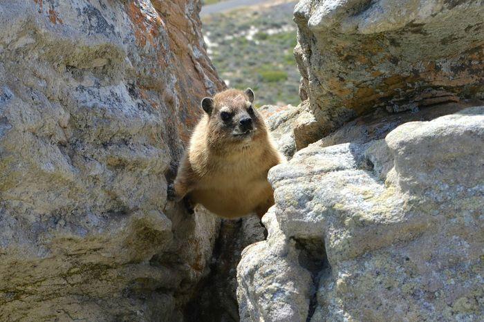 Rocks Wildlife Africa Safari Animal South Africa Nature Klippschliefer Dassie Spiderman Climbing