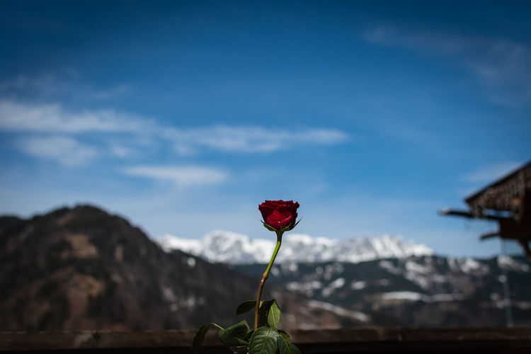 Close-Up Of Red Rose Against Sky