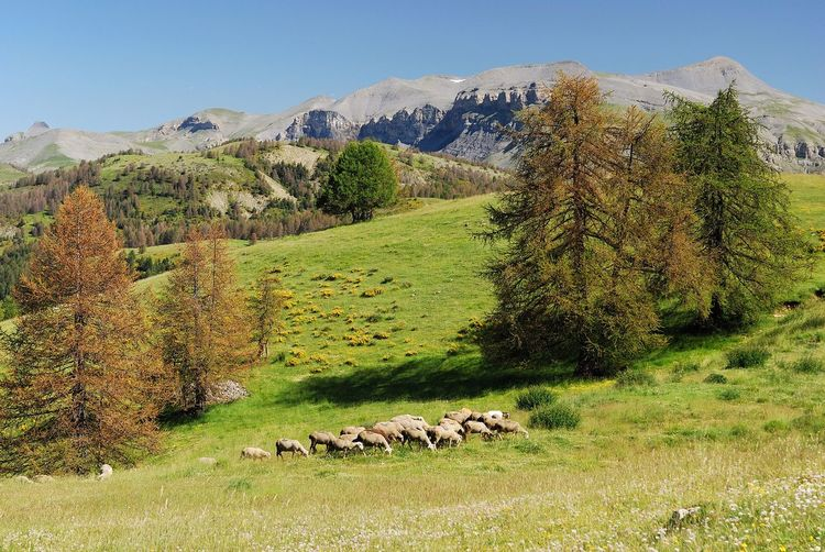 Flock of sheep on grassy field against mountains