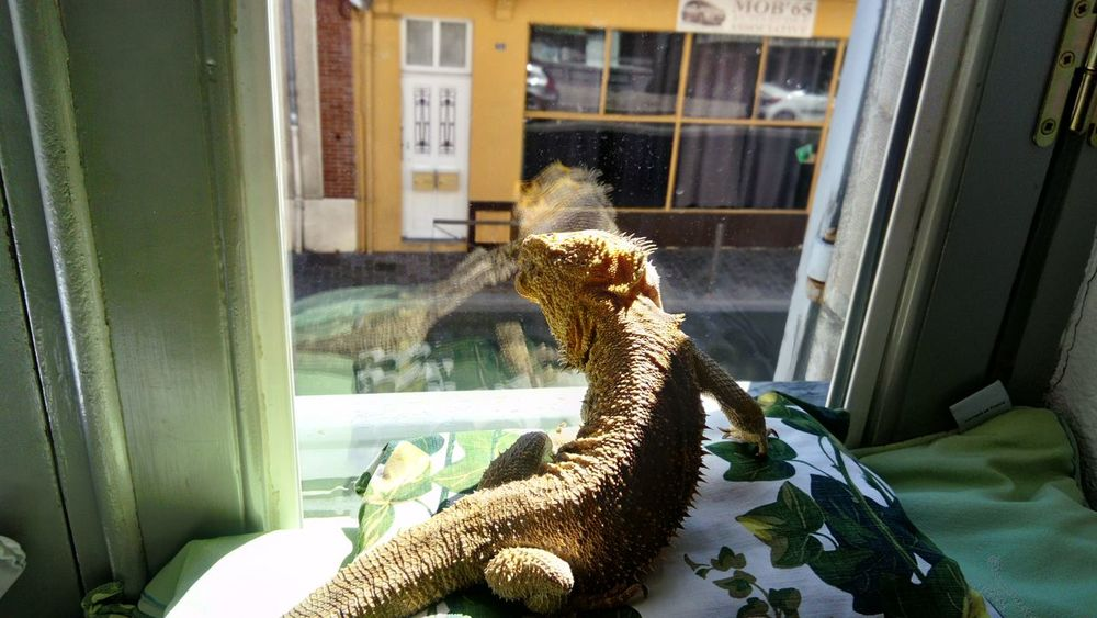 Reptile Day Indoors  Window Water Animal Themes No People Iguana Nature Indoors  Animals In The Wild Lizard Bearded Dragon Close-up Indoors  Reptile Kitten Animal Wildlife Indoors  One Animal High Angle View Whisker Indoors  Portrait