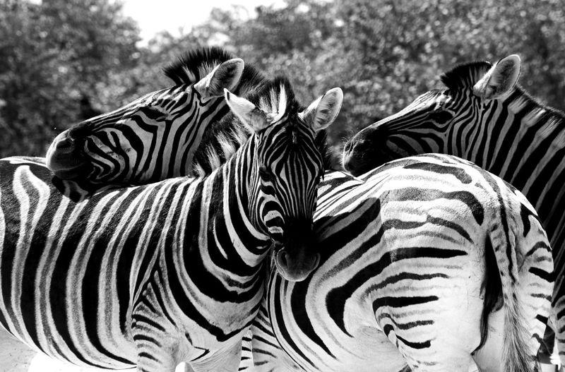Family of Zebras EyeEm Nature Lover EyeEm Best Shots - Black + White Family Wildlife Wildlife & Nature Bkackandwhite Zebra Safari Animals Striped Close-up Animal Markings Animal Migration Natural Pattern Group Of Animals Herbivorous Animal Skin