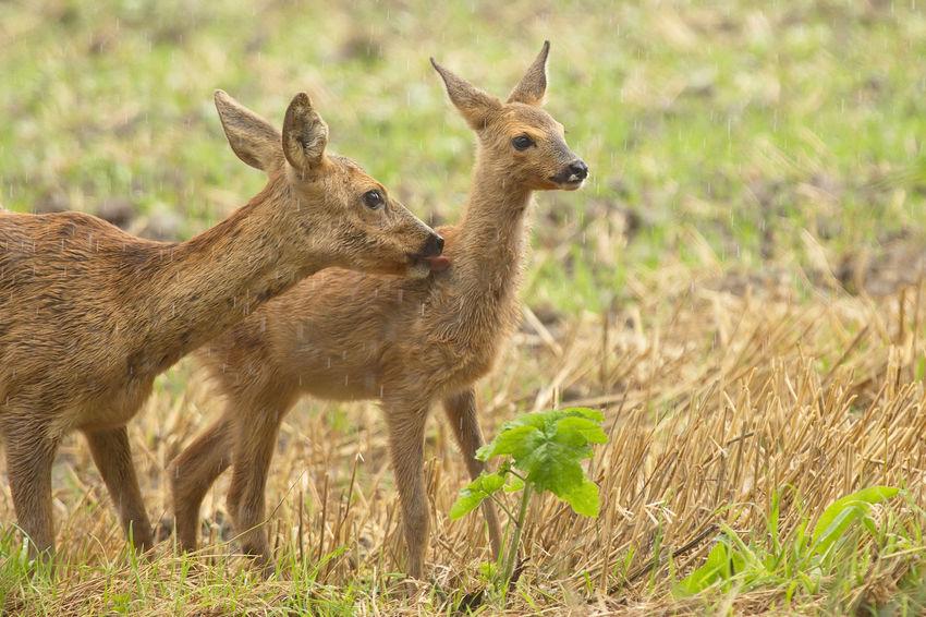 Animal Animal Themes Beauty In Nature Cub Deer Mammal Nature Outdoors Ree Ree Met Kalf Reegeit Reekalf Roe Deer With Cub Wildlife Young Animal