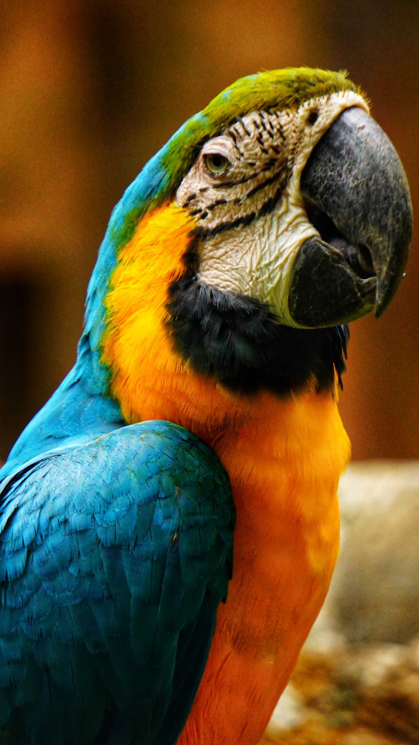 bird, animal themes, parrot, animal wildlife, vertebrate, animal, animals in the wild, macaw, focus on foreground, gold and blue macaw, close-up, one animal, no people, beak, day, nature, multi colored, beauty in nature, outdoors, animal body part, animal head