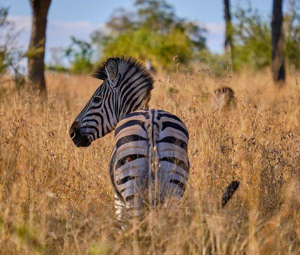 Zebra standing on grassy land