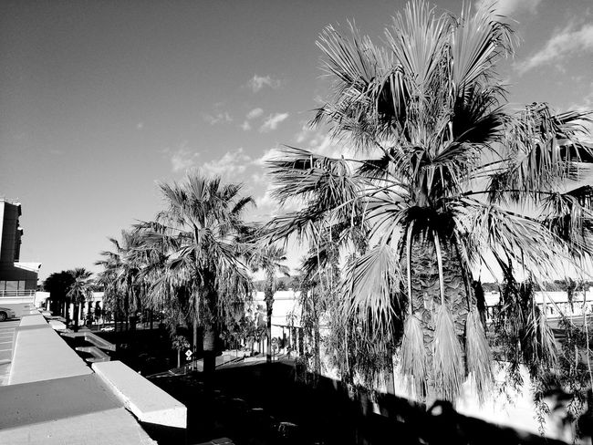 Beauty In Nature Black & White Palm Tree Fairfield, California Nor Cal From My Point Of View Smart Phone Photographer Smartphone Photography Solano County