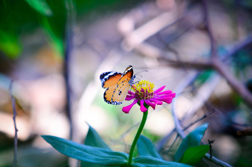 Animal Themes Animals In The Wild Arthropod Beauty In Nature Butterfly Butterfly - Insect Close-up Flower Flower Head Focus On Foreground Fragility Freshness Growth Insect Nature One Animal Petal Pink Color Plant Pollination Springtime Stem Symbiotic Relationship Vibrant Color Wildlife