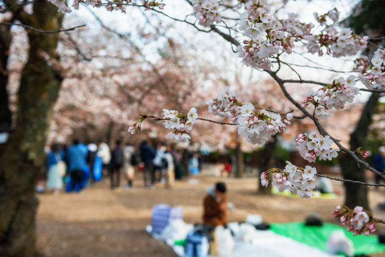 Picnic or hanami under cherry trees. closeup white sakura flower with blur people