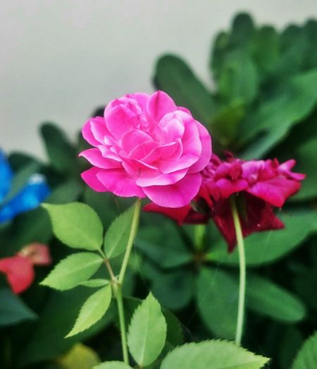 Taking Pictures Mizz Nunuy Eyeem Flowers Rose🌹 Eyeem Roses Sony Xperia Z2 No Edits No Filters Flowers @home Sweet Home