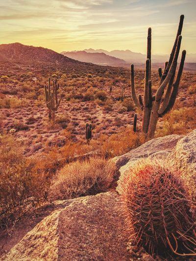Cactus in desert against sky