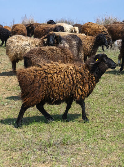 Sheep Mammal Animal Themes Domestic Animals Animal Livestock Group Of Animals Grass Field Land Pets Domestic Vertebrate Agriculture Plant No People Nature Day Landscape Standing Herbivorous Outdoors Herd