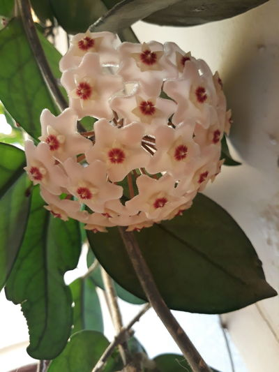 Porcela In Flower Nature Beauty In Nature hoya carnosa