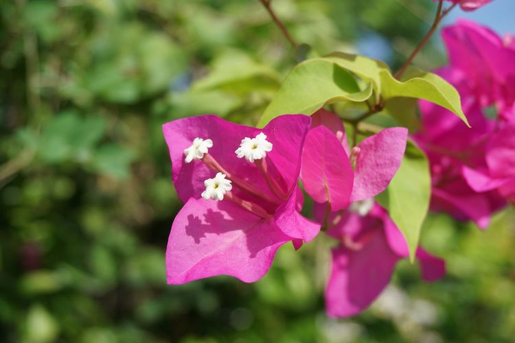 Bougainaillea Hybrid Beauty In Nature Bloom Blooming Blossom Bougainvillea Bougainvillea Flower Close-up Day Flower Flower Head Focus On Foreground Fragility Freshness Growth Nature No People Outdoors Paper Flower Petal Pink Color Plant