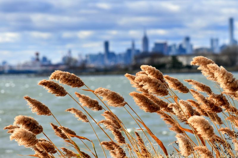 No People Growth Nature Outdoors Plant Water Day Sky Skyscraper Urban Skyline Beauty In Nature Grass Tall Grass Blowing In The Wind New York Skyline  New York City New York Feather Reeds Reeds By Water Reeds Grasses Grass And Sky Waterfront Water Ferry Point Park Bronx Perspectives On Nature The Great Outdoors - 2018 EyeEm Awards