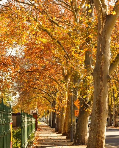 Tree Leaf Autumn Tree Trunk Sunlight Illuminated Multi Colored Yellow Change Treelined Tree Canopy  Pathway Autumn Collection