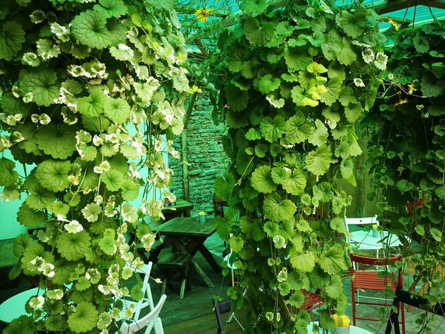 beer garden Beer Garden Leaf Ivy Tree Plant Green Color Close-up Creeper Plant Creeper Green Flora Greenery