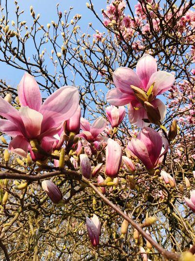 #magnolia Pink