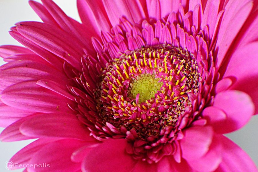 Macro_flower Percepolis12 Nikon D3200 Naturaleza Fotografia Photography Beautiful Nature Honduras Flowers