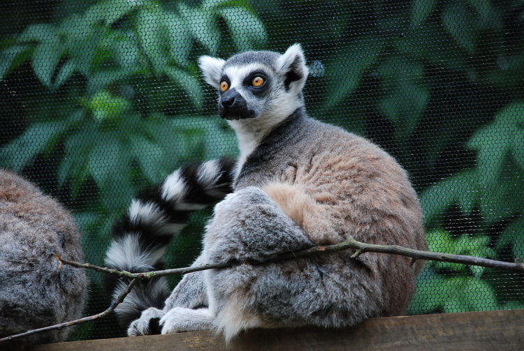 Low angle view of ring-tailed lemurs sitting on wooden plank at zoo