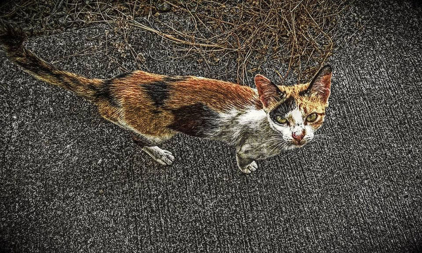 High angle view portrait of cat on road