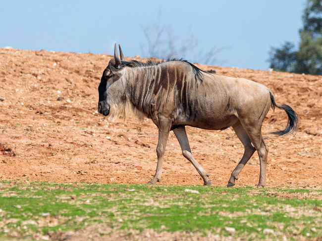 One wildebeest, also called gnus (Connochaetes) walks the earth on a sunny day and looks around Business National Ramat Gan - Tel Aviv Travel View Zoo Adaptation Animal Themes Attraction Biology Conservation Day Environment Israel Landscape Mammal Nature Park Population Reserve Safari Savanna Scene Tourism Wildlife