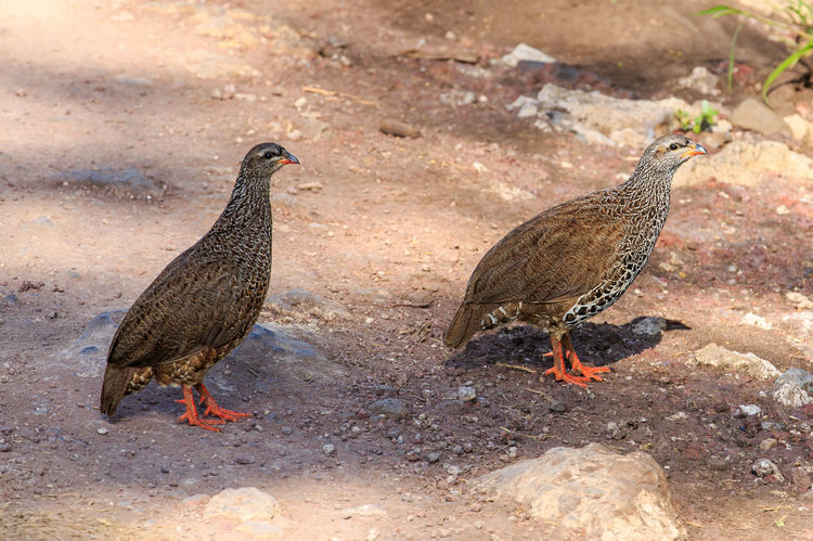 A pair of Crested Francolins cross the road in the Ngorongoro Crater, Tanzania. The crested francolin (Dendroperdix sephaena) is a species of bird in the Phasianidae family. It is found in Angola, Botswana, Democratic Republic of the Congo, Ethiopia, Kenya, Malawi, Mozambique, Namibia, Somalia, South Africa, South Sudan, Swaziland, Tanzania, Uganda, Zambia, and Zimbabwe. One of its subspecies, Dendroperdix sephaena rovuma, is sometimes considered a separate species, Kirk's francolin. Africa Animal Animal Photography Animal Themes Animal Wildlife Animals In The Wild Beauty Bird Bird Photography Crested Francolin Dendroperdix Dendroperdix Sephaena Francolin Male And Female Nature No People Pair Perdicinae Phasianidae Safari Safari Animals Wild Wildlife Wildlife & Nature Wildlife Photography